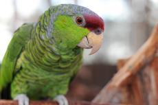 "Parrot who lives in a ""bird proofed"" home"