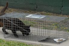Stray cat going into a cat trap. After being caught, the cat will be trapped, neutered and returned to his colony.