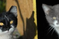 Two ear-tipped cats who are part of a TNR cat program