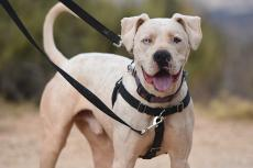 White pit-bull-terrier-type dog with one brown eye and one blue eye wearing a dog harness and leash