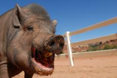 Spay and Neuter for Potbellied Pigs