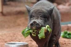 RB the potbellied pig eating some lettuce