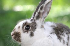 Brown and white spotted rabbit