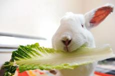 Cupid the white rabbit eating some lettuce