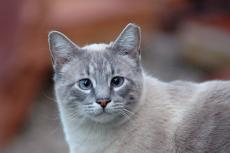 Gray community cat with ear tip