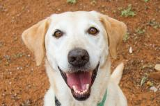 Smiling yellow Labrador retriever Sashay