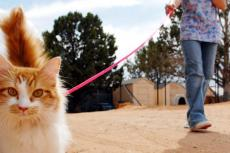 Woman walking a cat. Walking a kitty can be fun and rewarding for both you and the cat.