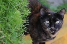 Feline who is part of outdoor cat colony. This resource outlines how to lobby for TNR.