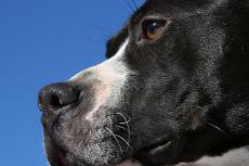 BSL (breed-specific legislation) targeted against pitbulls like this black-and-white pit is misguided.
