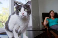 This gray-and-white cat is still scared of strangers, but he gets over his fear more quickly now.