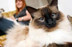 This longhair Siamese cat has been successfully introduced to the other cat and dog in the household.