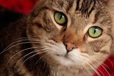Neutered tabby cat