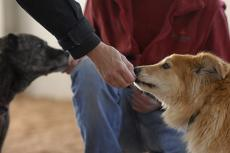 Two reactive dogs receiving treats during reactivity training