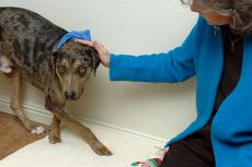 Take precautions when approaching a scared dog like this dog who is cowering a bit