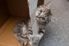 Tabby kitten playing in and chewing on a box, an easy DIY eco-friendly cat toy