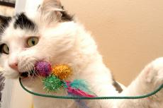 White cat with black spots playing with a toy with colorful balls, one of many cat enrichment ideas.
