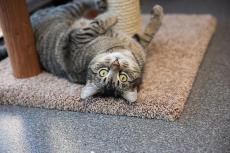 A brown tabby cat lying upside down inviting interaction