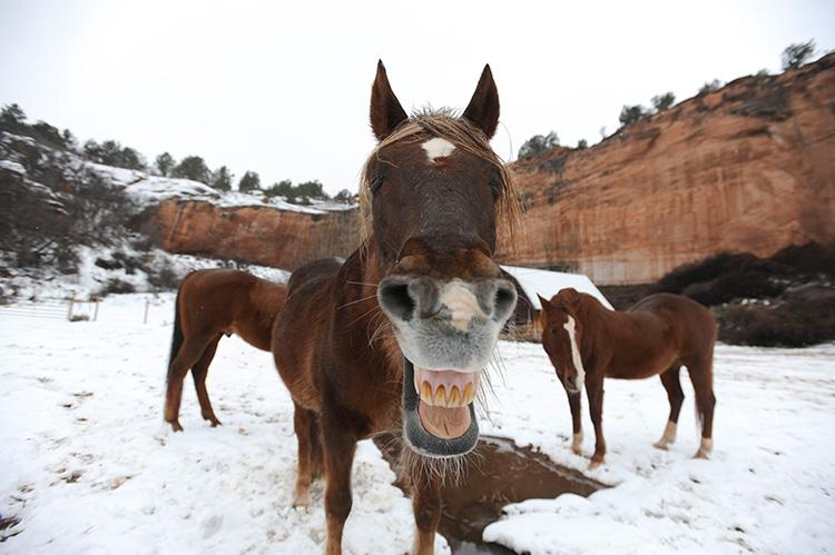 Falcor the horse looking straight at the camera with his mouth open and teeth showing, with other horses behind him in the snow