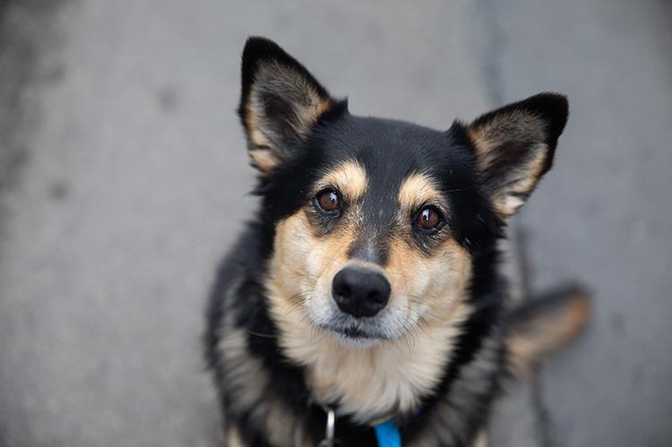 Tri-coloreddog sitting on a sidewalk