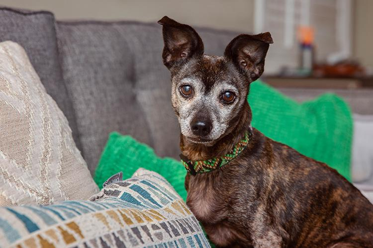 Older brindle Chihuahua type dog sitting on a couch
