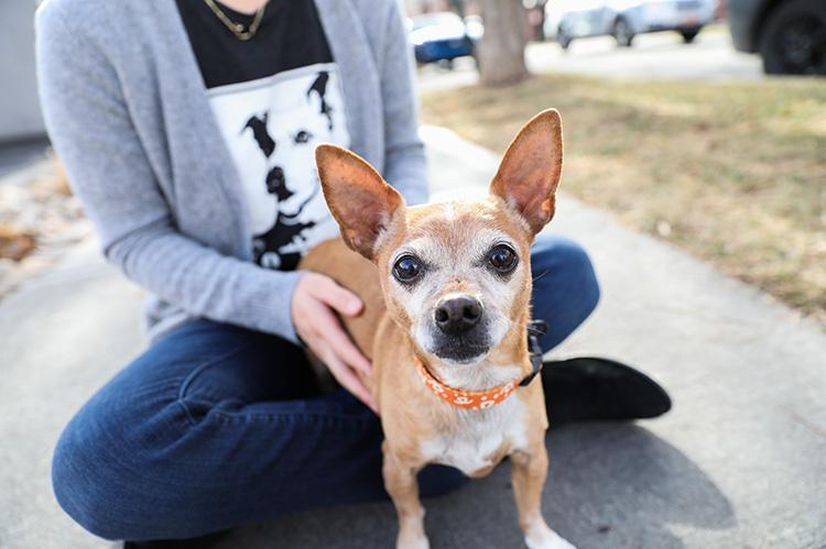 Small Chihuahua dog sitting in a woman's lap