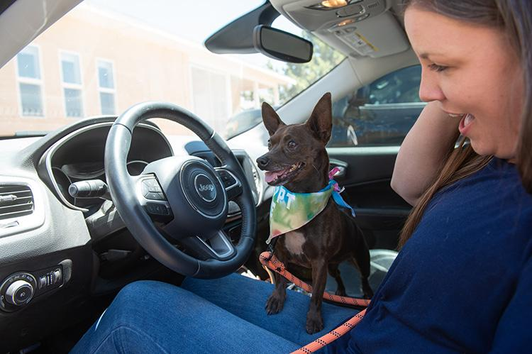 Small black and white dog wearing a bandanna in a car with a woman in the driver's seat
