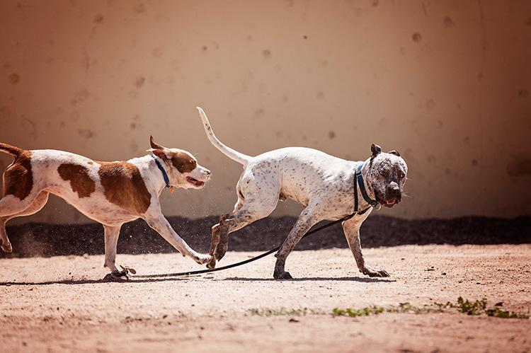 Two dogs running, one with a leash attached