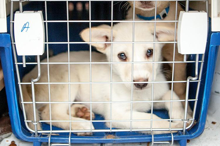 White puppy in a crate