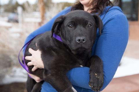 Person in a blue shirt holding a large Labrador-looking black puppy