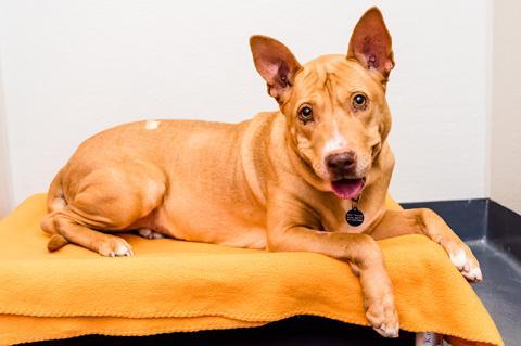 Brown dog lying on an orange bed
