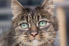 Older brown tabby cat's face