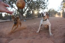 A ball being thrown to two waiting dogs