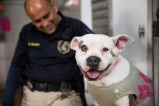 Smiling pit bull wearing a sweater with an animal control officer smiling behind him